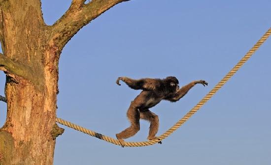 綱渡りをする猿