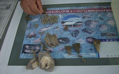 「なぎビカリアミュージアム」でとれた化石