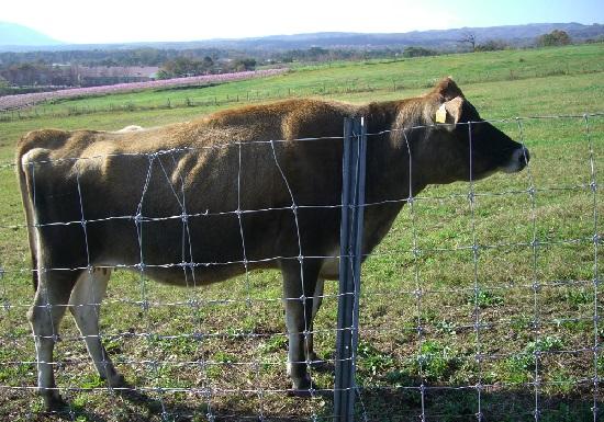 ジャージー牛