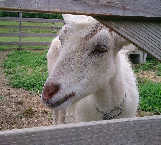 大江ノ郷自然牧場ココガーデンのペットのヤギ