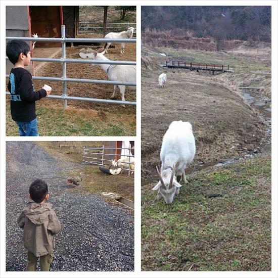 山田養蜂場みつばち農園のヤギ