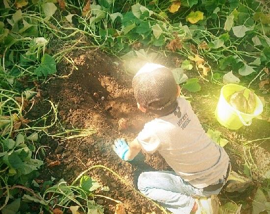 無農薬畑で芋掘りする少年