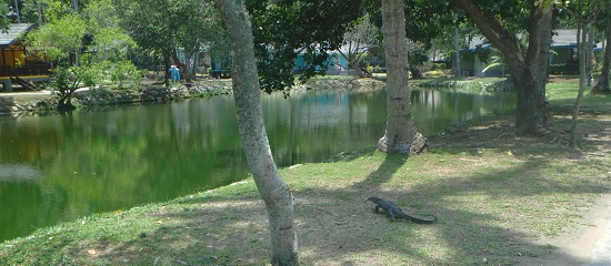 ビンタン島(インドネシア)ニルワナビーチリゾートのガーデンにいるオオトカゲ(野生)
