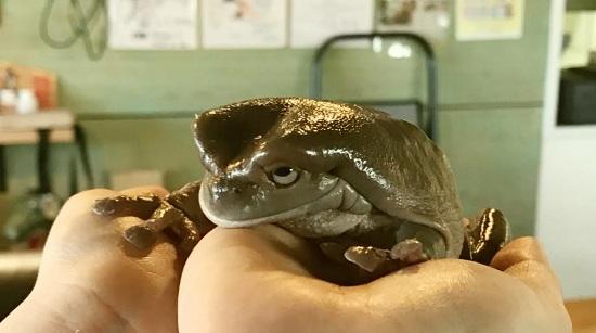 爬虫類カフェ「爬虫れぼ」のカエル
