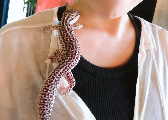 爬虫類カフェ「爬虫れぼ」のヤモリ