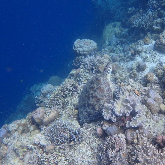 モアルボアル(セブ島)海がめ