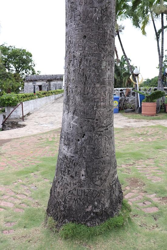 サンペドロ要塞(Fort San Pedro)博物館側の庭にある木