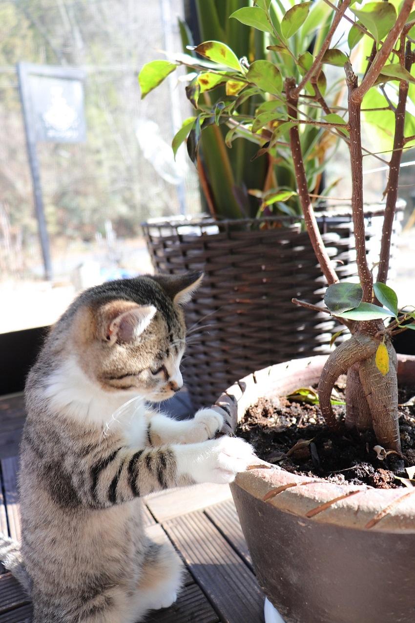 ホシメグリの子猫ちゃん(アポロ)